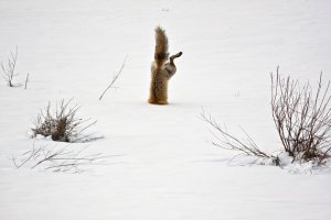 Red fox trying to catch a mouse (from Yahoo.com, National Geographic photo winners)
