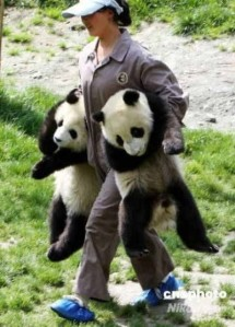 This would be my job - lugging giant pandas around
