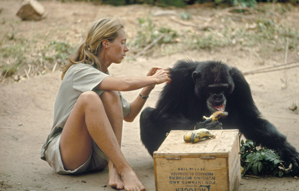 Jane grooming a chimp while he eats bananas. She and the other researchers would leave out boxes of bananas so the chimps would come close enough for the humans to observe them. Photo from WildlifeResearch.org
